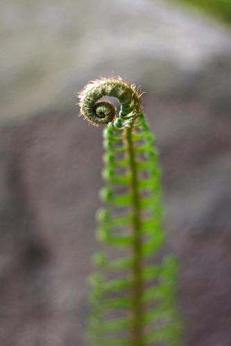 Fern Spiral - archimedes pattern